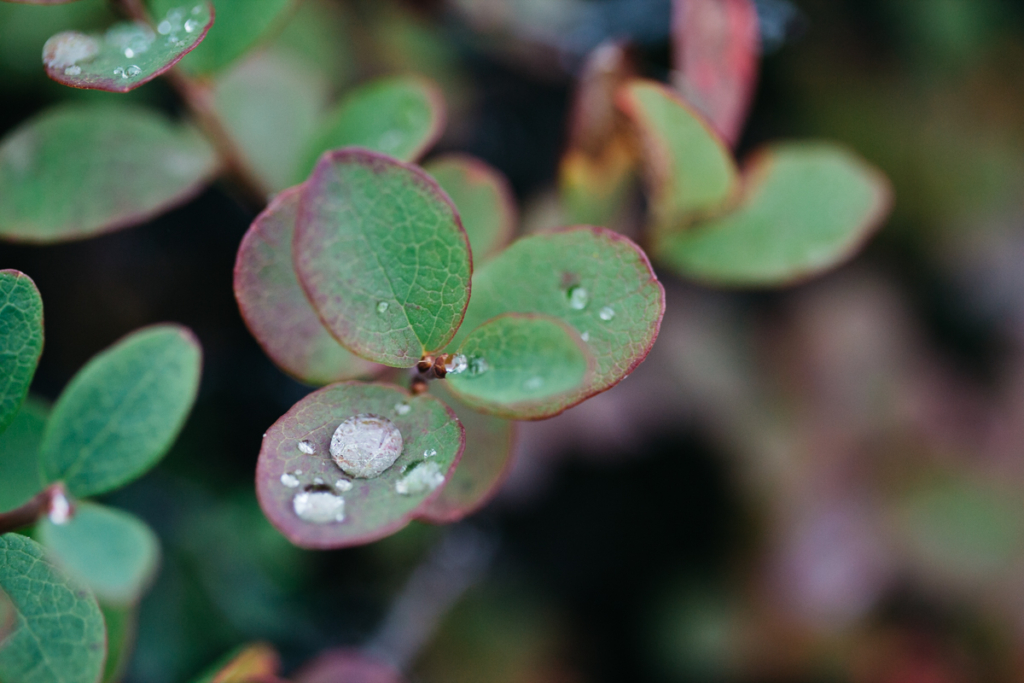 Pflanzen Dimmuborgir Island