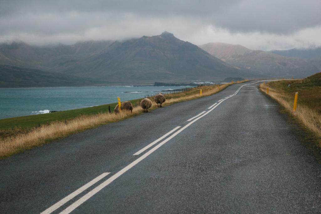 Schafe - Fahrt nach Bakkagerði Island