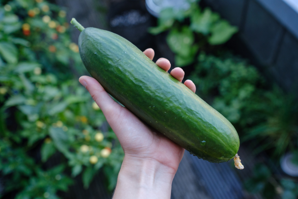 First cucumber harvested this year