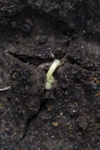 Bean cracking through soil