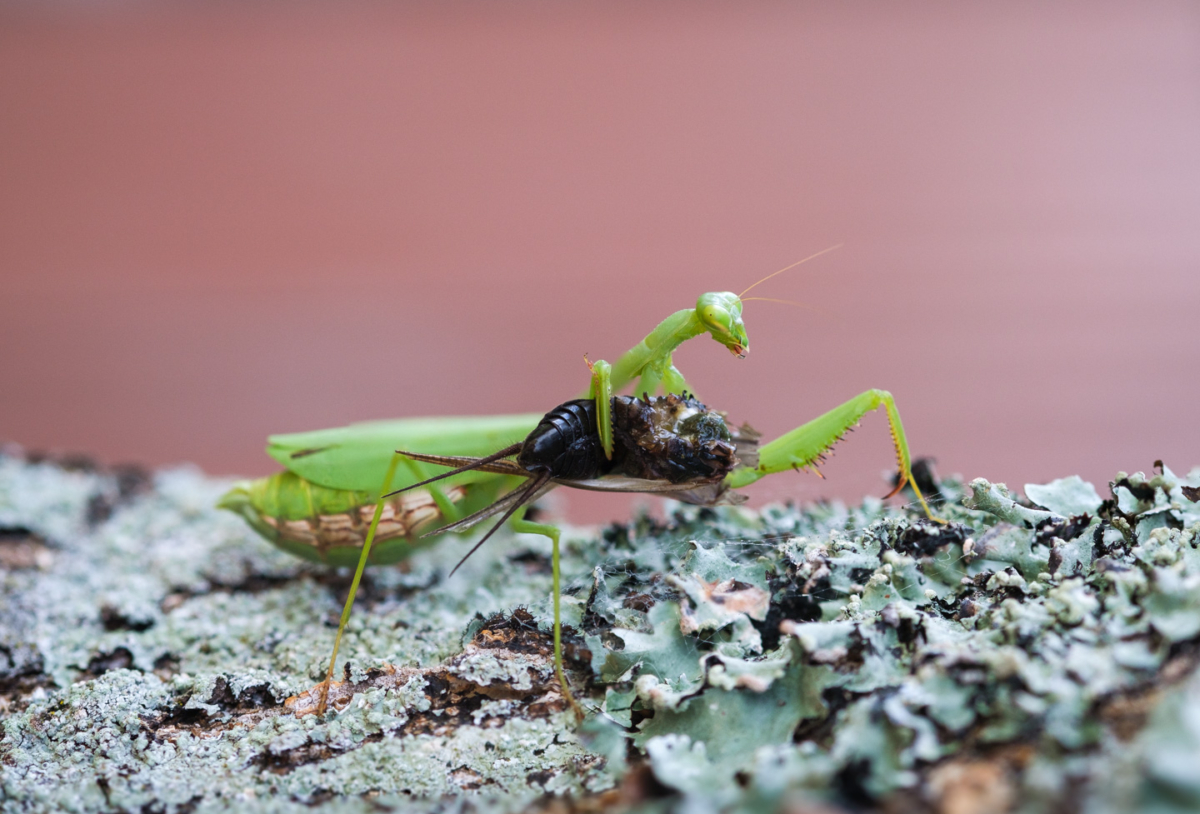 Praying mantis carrying a cricket on a tree