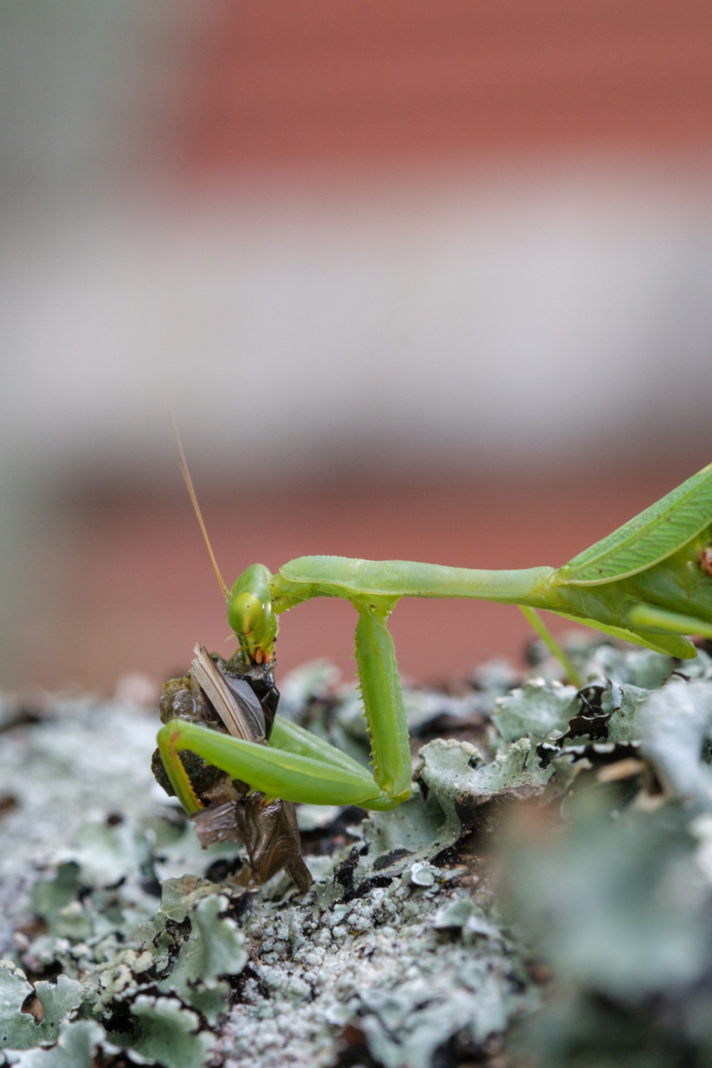 Praying mantis eating a cricket on a tree