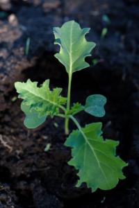 Kale seedling in garden
